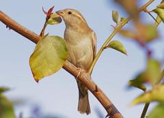 "sparrow""Passeridae"" (TARIQ HAMEED SULEMANI) Tags: pakistan white nature beauty birds cage safari lahore tariq bridle supershot mywinners abigfave flickrdiamond theunforgettablepictures concordians sulemani lahorepark"