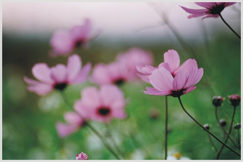 波斯菊,后里拼布花園