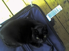 subtle hint (jana shea) Tags: travel home haarlem netherlands cat kitty suitcase 2009 hint kleinepoes