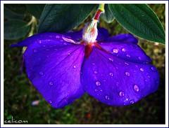 (celicom) Tags: naturaleza flora agua flor gotas