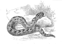 Horned Viper Drawing Horned Viper Deadly Kingdom