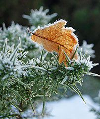 Caught up in winter (Bernie Bell) Tags: winter leaf frost gorse