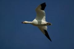 68EV0322 (sgbaughn) Tags: geese goose snowgeese snowgoose