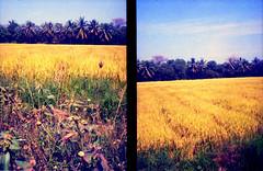 rice field (Kawee.Meksongruek) Tags: film field pen thailand rice kodak olympus frame half