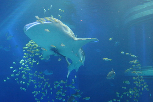 Whaleshark in the Osaka Aquarium