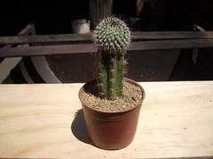 DSCN0021 (Maria luisa y sus cactus) Tags: cactus y otros mis interesantes injertos