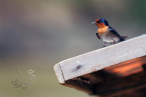 Swallow, Kuala Tahan