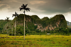 mogotes and palms (flamed) Tags: beautiful fairytale rural palms landscape cows country farming cuba palmtrees jungle tropical vinales prehistoric humid mogotes pinardelrio fantasty