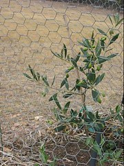 olive trees growing