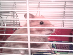 Am i pretty? (Hamster Lover 14) Tags: hamsters
