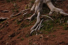 Skeletal (louderthanthat) Tags: tree roots dirt earthy exposed