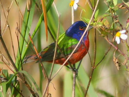 Male Painted Bunting 20100217