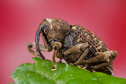 weevil with red background IMG_7861 copy