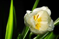 tulipano bianco (angelo savelli @ xad) Tags: cactus natura fiori bianco trigger tulipano d300 v4 lampista strobist nikkor70300vr cactusv4 yn462
