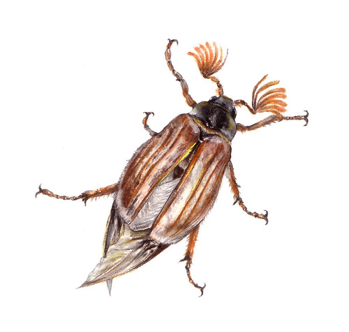 Cockchafer ~ May Beetle ~ Meikever