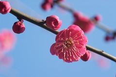 Plum Blossoms (doubt72) Tags: flower japan tokyo   ume setagaya plumblossom  hanegipark  umegaoka umematsuri   plumblossomfestival