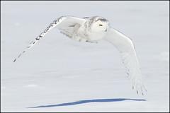 Owl (Snowy) - 1829 (Earl Reinink) Tags: flight raptor snowyowl snowyowlinflight earlreinink wwwearlreininkcom wwwipaintca