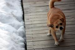 Aroo? (curious_spider) Tags: dog pet chihuahua mutt mixedbreed foxterrier yellowdog headshake earinfection tacoterrier chifox deckwalkway