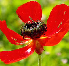 Poppy (guyatar) Tags: red flower nature israel poppy guyatar  olympuse450