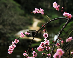 Cherry (` Toshio ') Tags: bridge pink mountain flower tree green nature japan garden asian japanese petals asia branch natural bokeh path hiroshima bloom cherryblossoms blooming plumblossoms toshio shukkeiengarden
