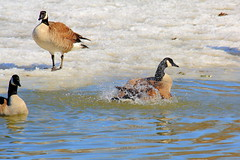 One Fine Day for a Splash! (p.csizmadia) Tags: ohio wild cold ice nature water frozen geese goose oh splash canadagoose brantacanadensis canadageese frolick vermilion vermilionriver csizmadia pcsizmadia