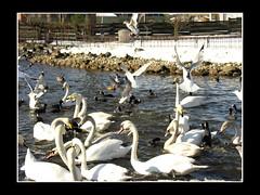 svaner_hobro_sne_060310 (3) (fruNielsen (Helle Klitgaard)) Tags: spring arden svaner marts forr hobro mger frunielsen helleklitgaard
