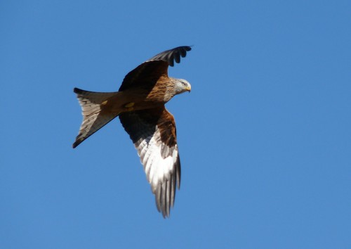 12091 - Red Kite at Gigrin Farm