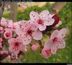 Fleurs de printemps : Prunus pissardii - Pruni...