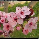 Fleurs de printemps : Prunus pissardii - Prunier myrobolan - Myrobalan plum
