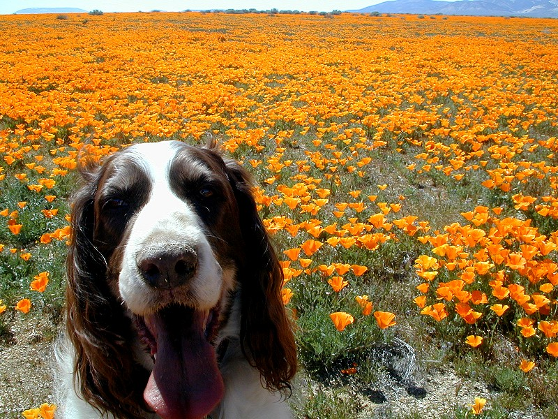 2001 Antelope Valley California Poppy