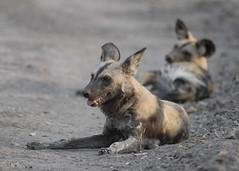 Wild dogs, South Luangwa