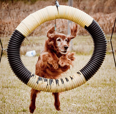 I'm jumping through hoops for you people (p simmons) Tags: florida irishsetter osteen dogphotographer bestpawforward centralfloridabased wwwphillipsimmonscom