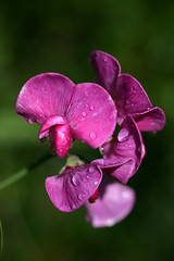 Sweetpea after rain (EJ Bergin) Tags: flower sweetpea