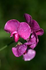 Sweetpea after rain (EJ Bergin) Tags: flower sweetpea