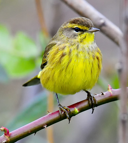 Palm Warbler (Yellow -Eastern form) - Peachtree City CBC. Dec '09