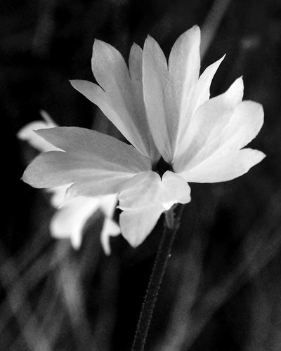 Woodland Star 02 BW