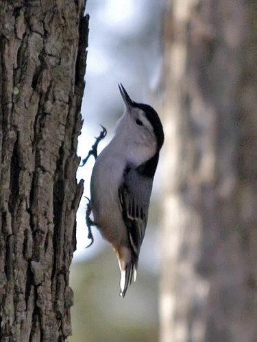 nuthatch running