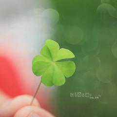 CLOVER (sndy) Tags: green nature clover  sindy
