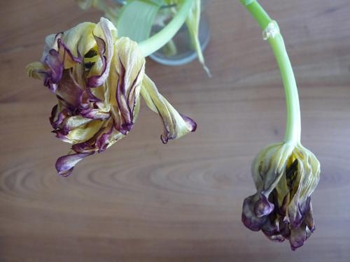 tulips