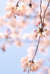 (altmann0997) Tags: spring nikon  sakura 70300mm