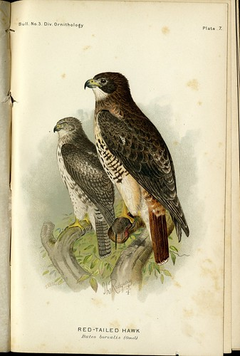 """RED-TAILED HAWK Buteo Borealis (Gmel.)"""