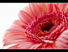 Pink Sunshine (laughlinc) Tags: pink flower macro nature closeup petals spring gerbera daisy 50mm18 nikond80 cmwdpink thechallengefactory laughlinc