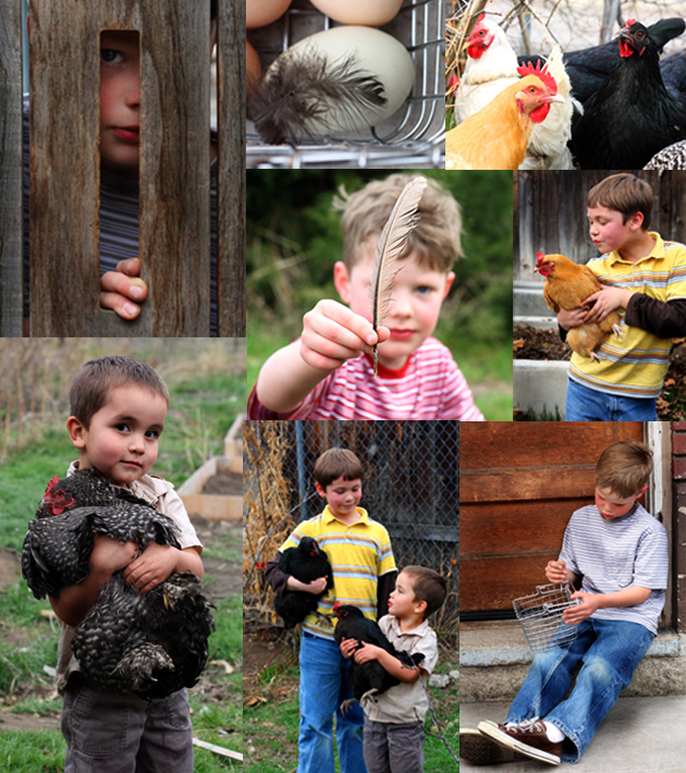 chickens-montage-2