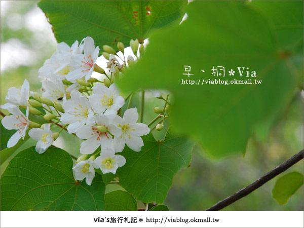 【2010桐花祭】桐花最新情報*彰化挑水古道油桐花3