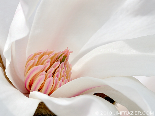 Fresh Magnolia