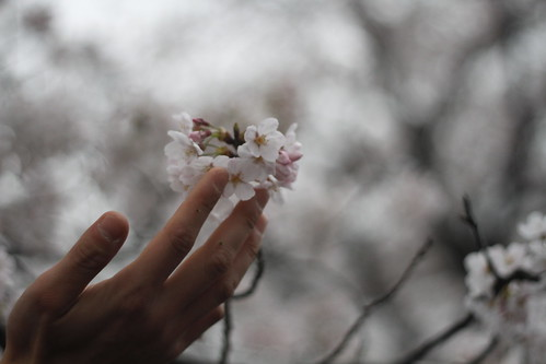Touching a cherry blossom flower
