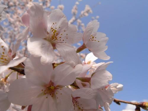 <桜>当麻寺横の公園-05