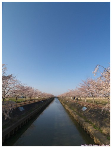 Cherry blossoms 100404 #02