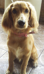 (line delmonte) Tags: english spaniel cocker biscoito ingls