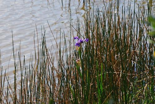 Lone Iris